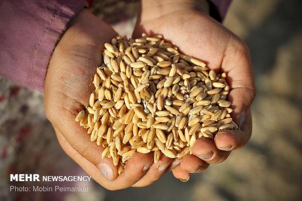 11 هزار و 900 تن بذر گندم بین کشاورزان استان قزوین توزیع می گردد